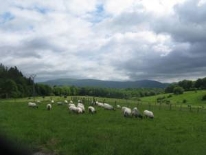 Sheep grazing on the Pyranees foothills of Roncesvalles in Spain.