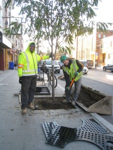 City workers install the guards and grates that will protect our street trees on the east side of Roncesvalles.